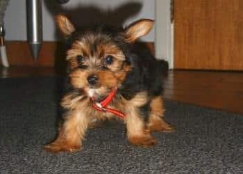 achat yorkshire terrier