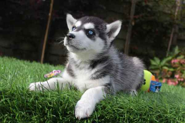 Husky dogs for sale