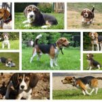Beagle puppies for sale, Belgian breeders info