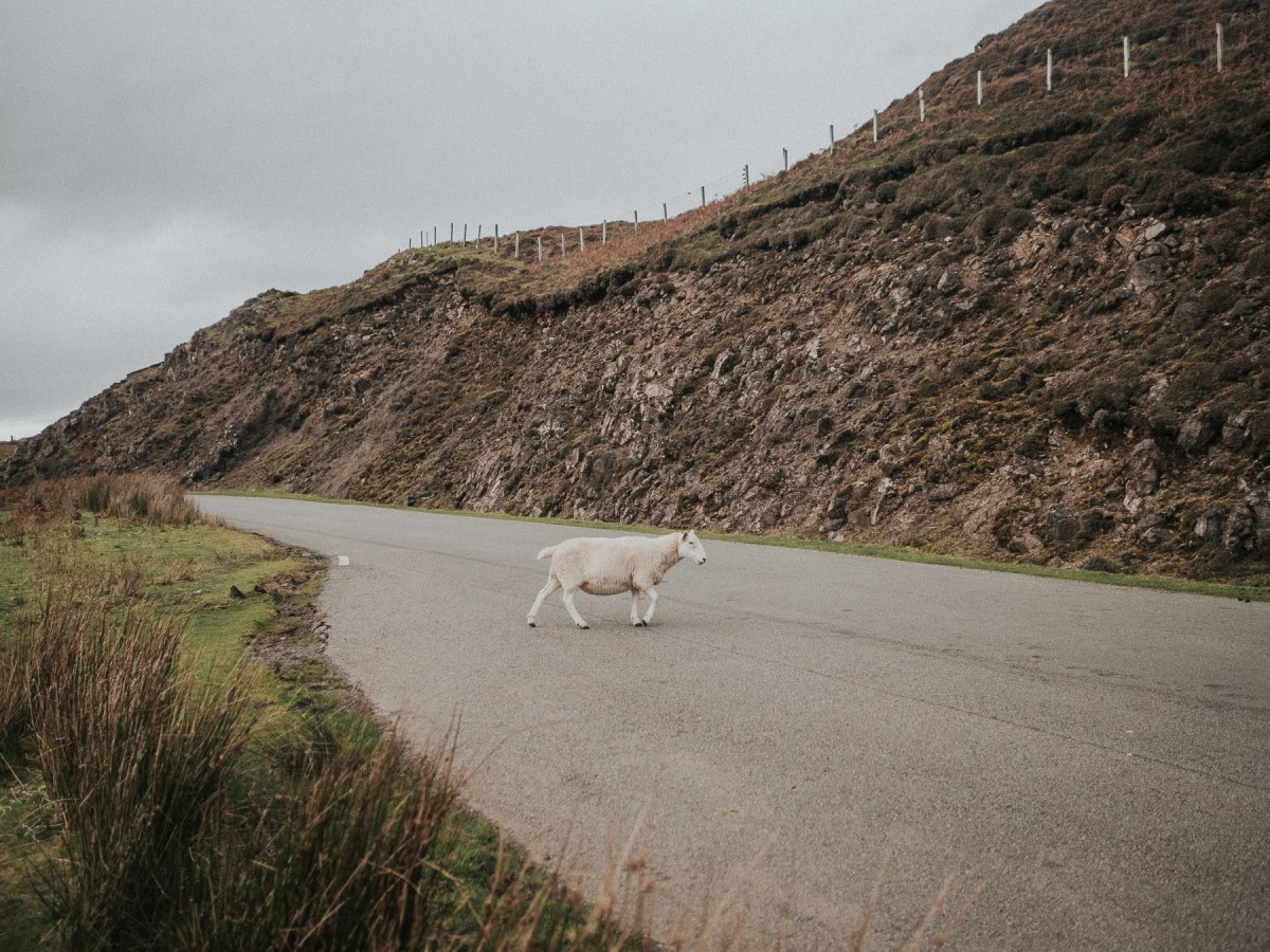 Sheep in the road | | A One Week Scottish Highlands Travel Itinerary | a detailed account of exactly what we did to make the best 7 day roadtrip through the Scottish Highlands | W&S