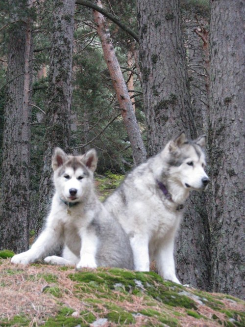 Malamute Wolf Mix In Natural Netooka Resting Middle A Hiking