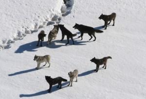 Wolf Families | International Wolf Center