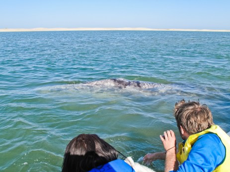 A grey whale mom come close to our little boat in Puerto Lopez Mateo on the Pacific Coast.