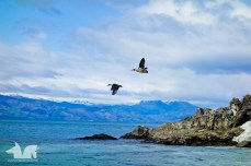 A pair of ducks flying over Lago Gral Carrera