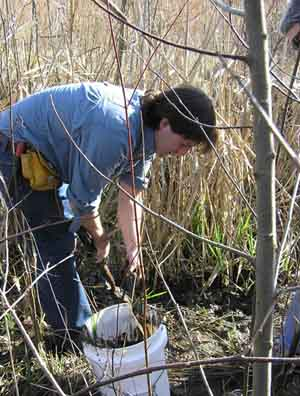 The Most Important Plant - Cattails! Video of Finding, Harvesting, Transplanting & Cooking Cattails