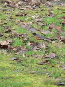 bird-american-robin-foraging
