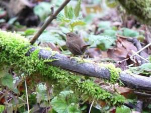 bird-winter-wren-territorial-display