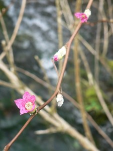 shrub-salmonberry-first-flowers