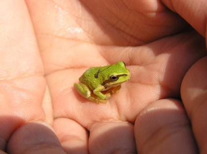 Pacific Chorus Tree Frog photo by Kim Chisholm