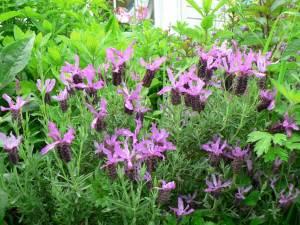 chicken-medicinal-herbs-lavender