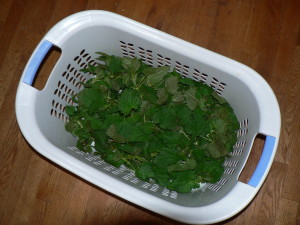 Give critters a chance to escape from freshly harvested nettles prior to processing or storing.