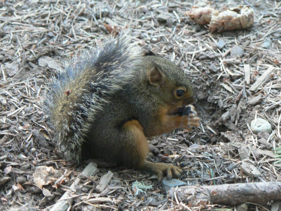 Douglas squirrel visits camp