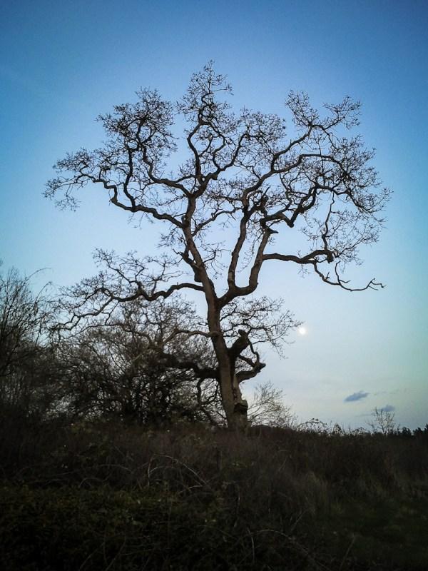 Garry Oak at Rithet's Bog