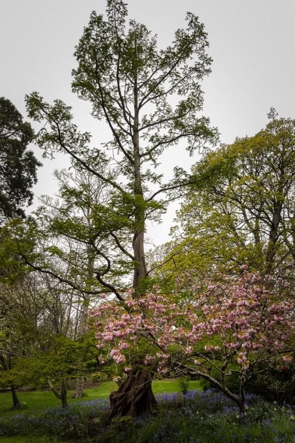 Dawn Redwood, Dressed Up for Spring