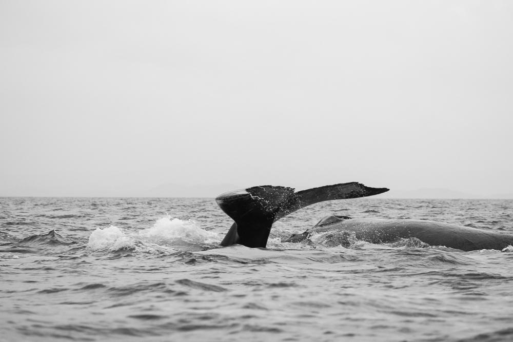 Queue Baleine Sainte Marie