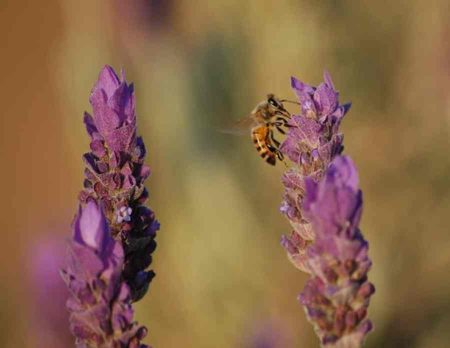 lavender-401107_1280