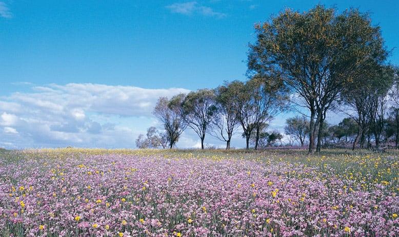 Australia_WA_wildflowers