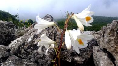 Photo of הצעה לטיול לשבת: טיול לפריחת השושן הצחור בקרן ברתות בגליל המערבי