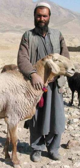 Abigail, David in the Bible: Shepherd with sheep in wild terrain