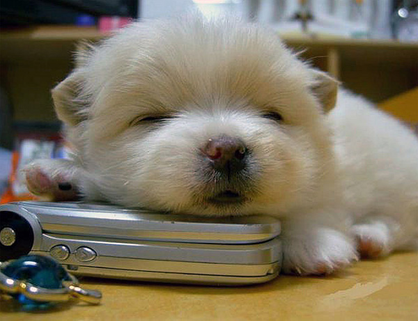 puppy sleeping on a mobile phone