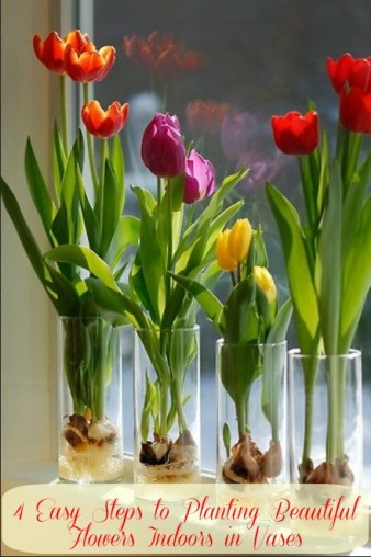 Indoor tulips growing in vases