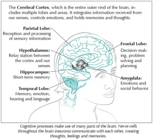 Diagram of the Cerebral Cortex