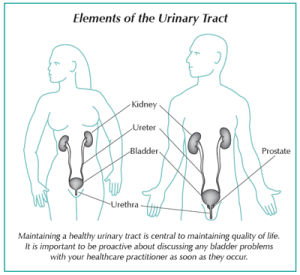 Diagram showing the elements of the urinary tract in men and women