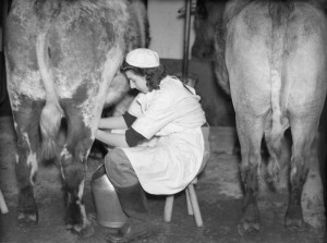 Dairy farming: A member of the Women's Land Army milks a cow, probably at the WLA training centre at Cannington, Somerset, c 1940. Source: IWM D186