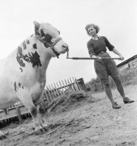 Land Girl Iris Joyce leads a bull at a farm somewhere in Britain. Source: IWM