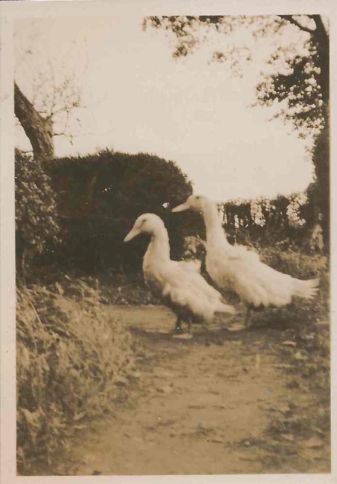 Kit's and Eva's ducks.  Dorothy writes on the back of the photograph how 'they were for Xmas, but we couldn't kill them'.