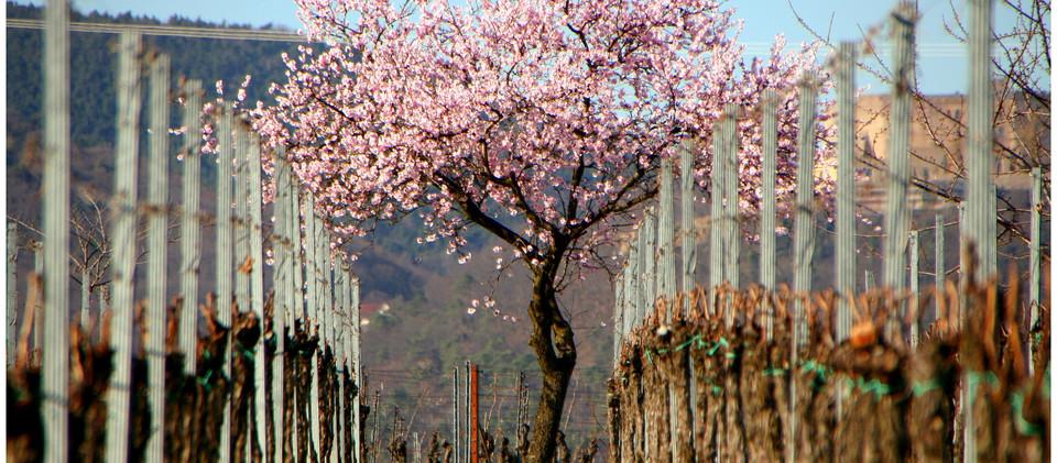 Mit dem Wohnmobil zur Mandelblüte in die Pfalz