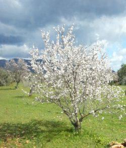 Frühlingsfahrten: Pfälzer Mandelblüte
