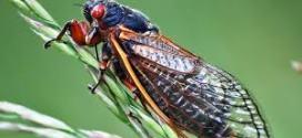 Cicada eggs