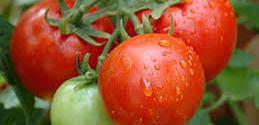 Lifesaver Tomatoes