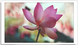 Indian National Flower Lotus