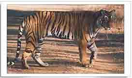 Indian National Animal Tiger