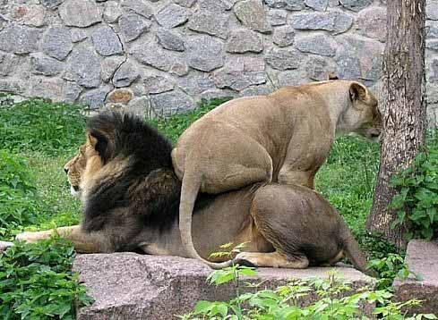 Lion on Lion