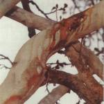 Aashura bleeding tree