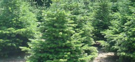 Top selling Christmas Trees