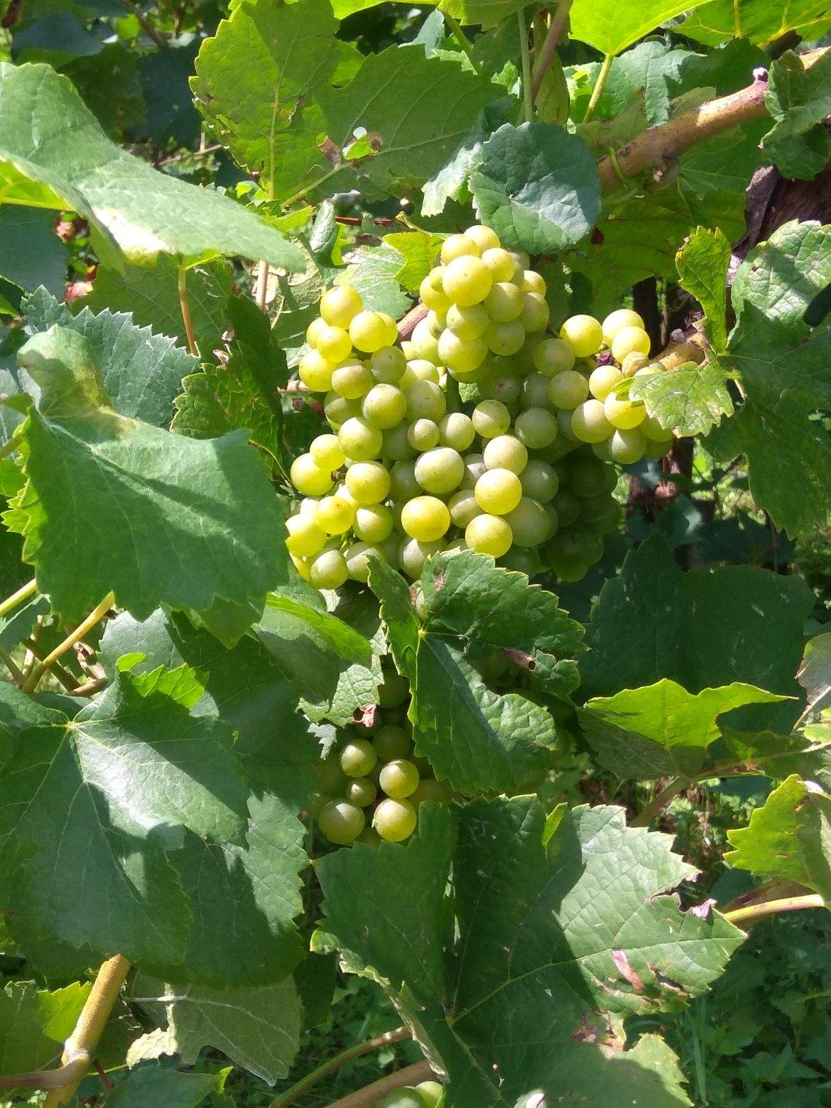 Bronner vino naturale