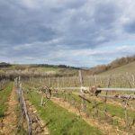San Giminiano - La Castellaccia - Visita in vigna