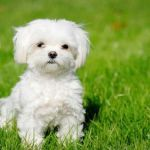 10 Smallest Dog Breeds in the World