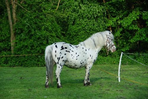 Dalmatian beautiful horses