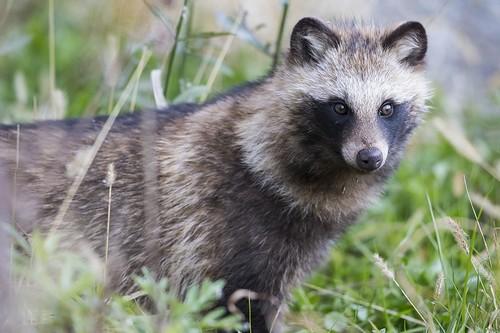 Raccoon Dog Strange Animals