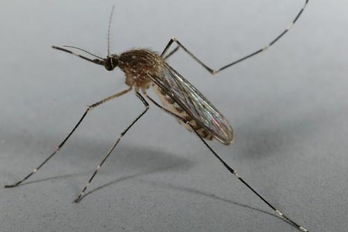 Deadliest Diseases Caused by Mosquitoes