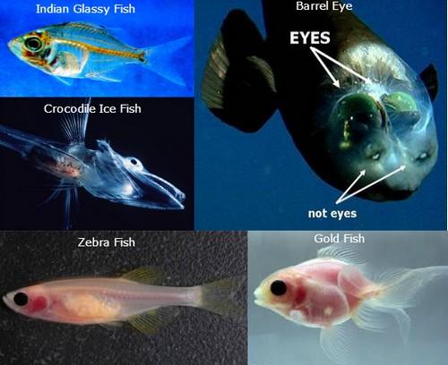 Transparent Animals Fishes