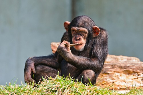 Chimps Can Start Fashion Trends