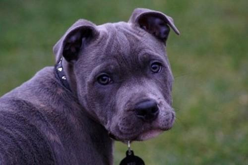 Blue Paul Terrier Extinct Breeds of Dogs