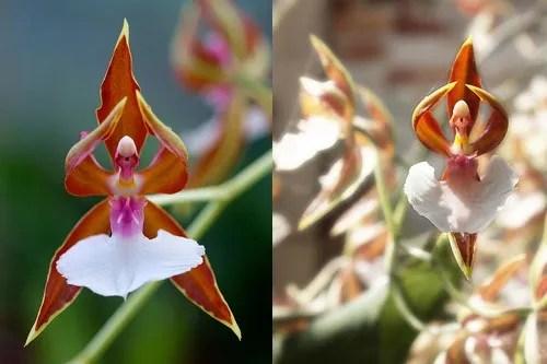 Ballerina Orchid Strange Flowers