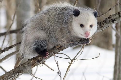mammals with unusual defences Opossum